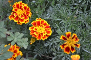 marigolds, peace